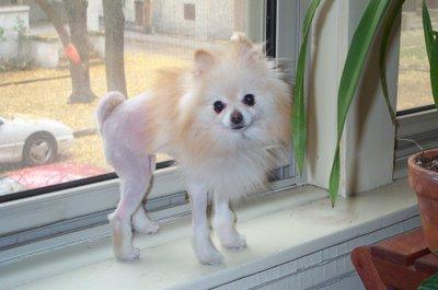 Haircut Long Hair Chihuahua