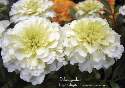 Digital Flower Pictures White Marigold Tagetes Erecta