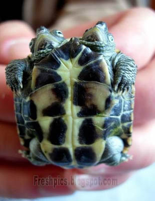 Two Headed Turtle