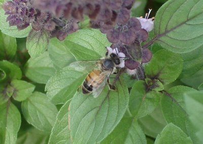 Another bee, another basil blossom