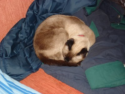 Her Ladyship asleep on my coat