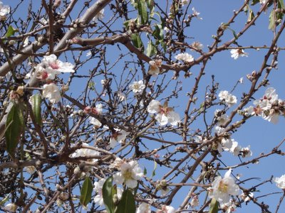Early almond blossoms