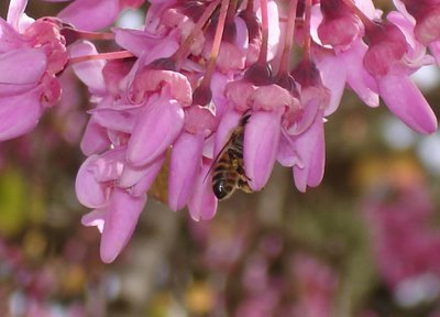 Bee in tree blossoms