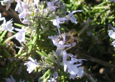 Bee sipping rosemary nectar