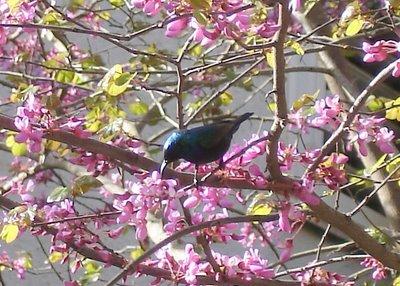 Palestine sunbird, too