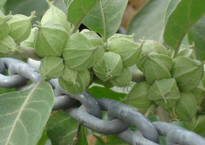 Buds and chain