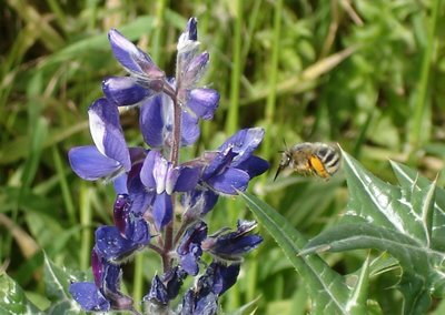 Bumblebee flies toward lupine blossom