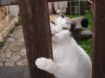 Calico kittycat