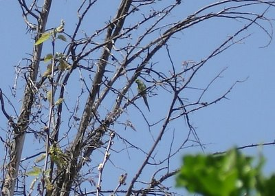 Parakeet from a distance