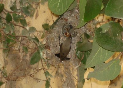 Mama Sunbird feeds her chicks