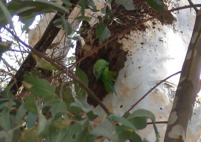 Wild parakeet on eucalyptus tree trunk