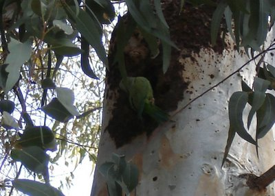 The same wild parakeet, slightly darker