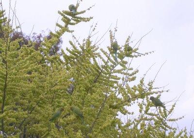 Parakeet pyramid