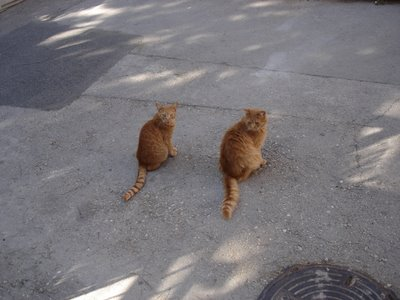 Two orange cats in Nahlaot