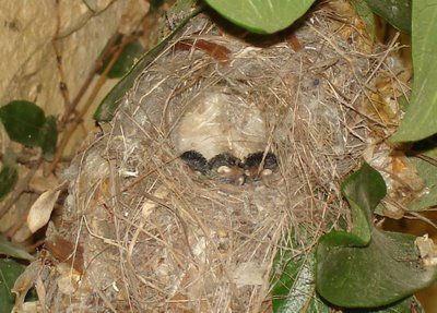 Sunbird nest with young