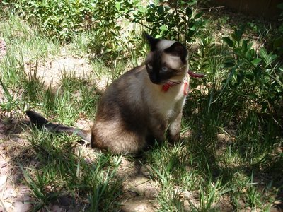 Siamese in the sun