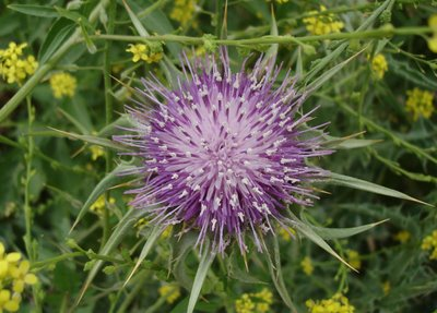 Thistle surrounded by mustard plants