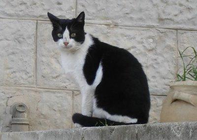 Tuxedo cat standing guard