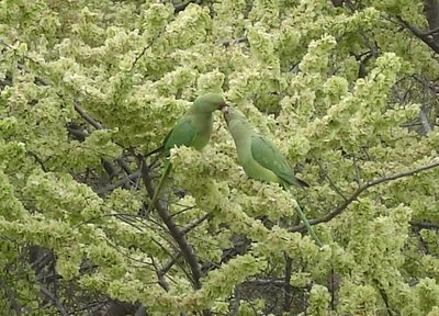 Two parakeets interacting