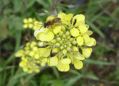 Small wasp on mustard blossom