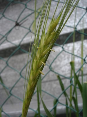 Green wild barley stalk