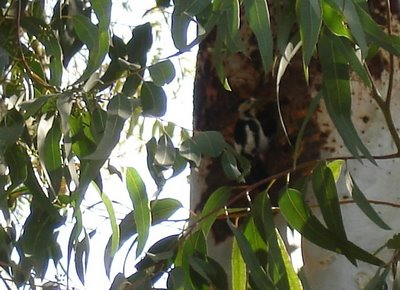Woodpecker on eucalyptus tree