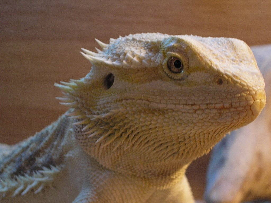 I See You The Solar Eye Of Bearded Dragons