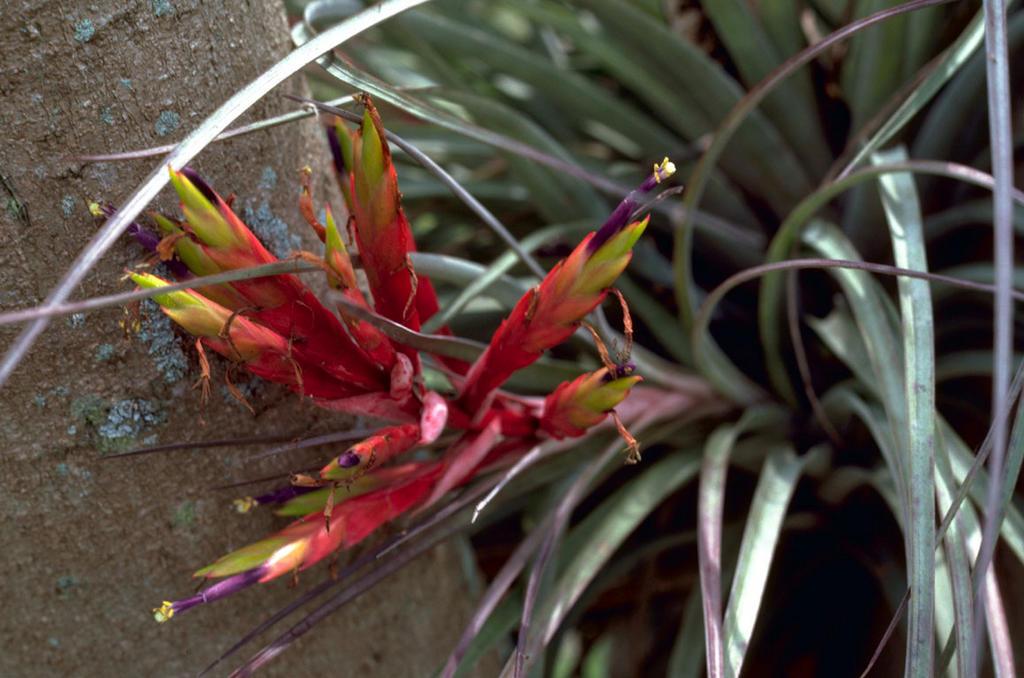 Air Plant (Tillandsia fasciculata)