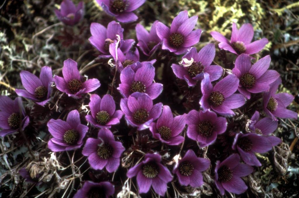 Alpine Anemone (Anemone drummondii)