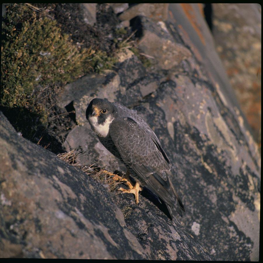 Arctic Peregrine Falcon (falco peregrinus tundrius)