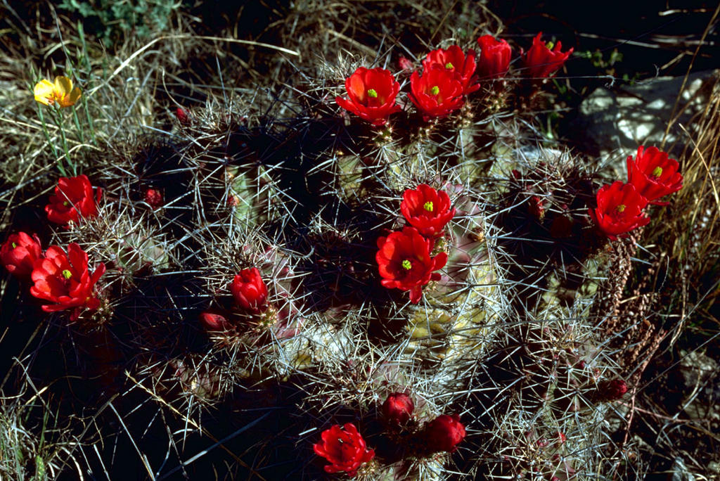 Claret Cup Cactus (Echinocereus Engelm)