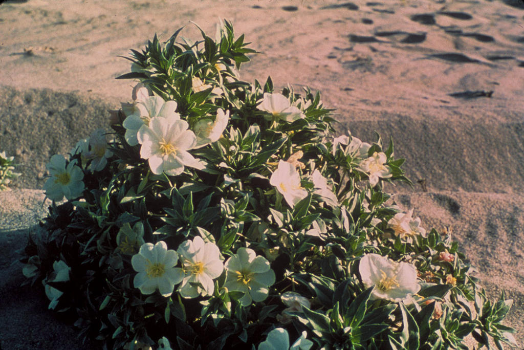 Eureka Dunes evening-primrose (Oenothera californica) COLOR PHOTO