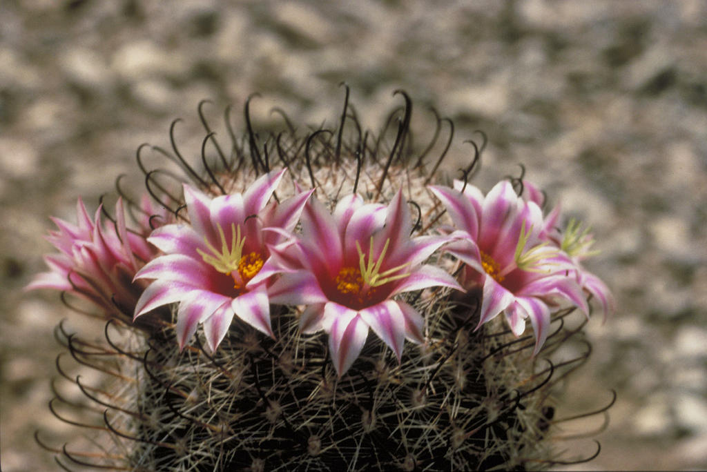 Fishhook Cactus (Sclerocactus) FREE COLOR PHOTO