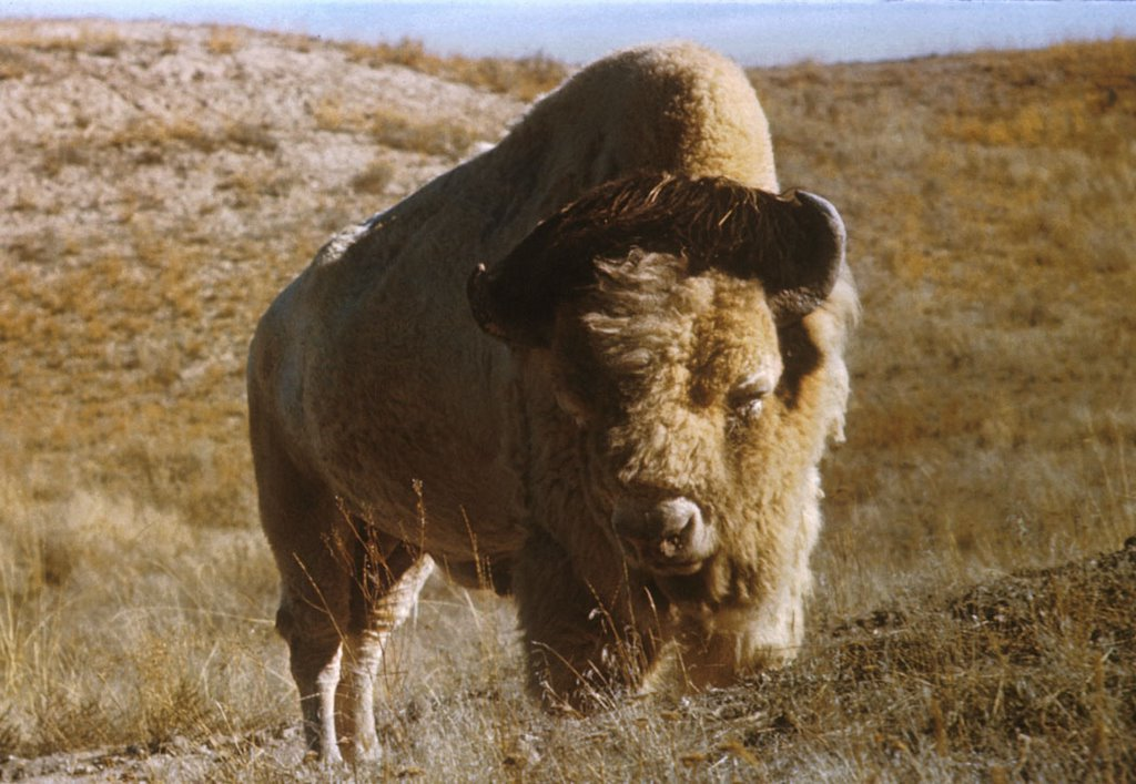 Title: Bison, Alternative Title: 'Big Medicine', Creator: Schwartz, John, Source: WO4374-023, Publisher: U.S. Fish and Wildlife Service, Contributor: DIVISION OF PUBLIC AFFAIRS
