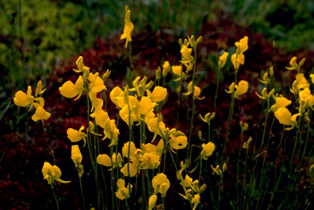 Bladderwort (Utricularia L.)