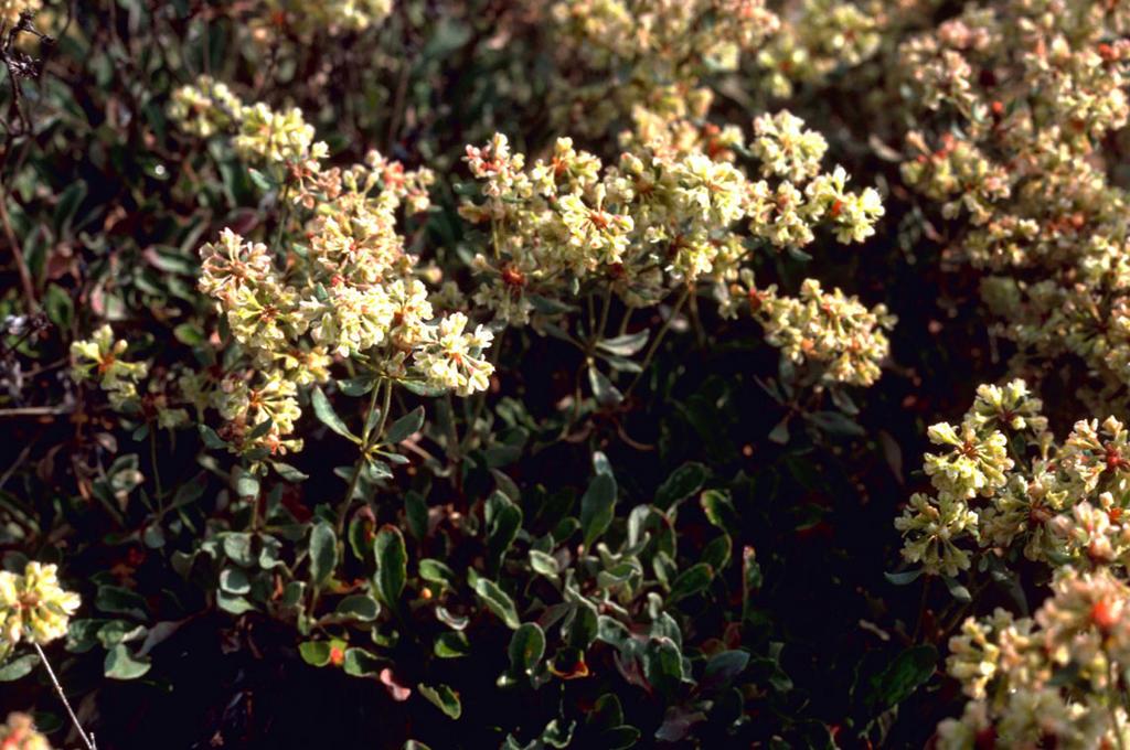 Buckwheat, west Humboldt (Eriogonum anemophilum Greene)