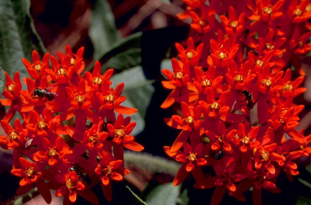 Butterfly Milk Weed (Asclepias tuberosa L.)