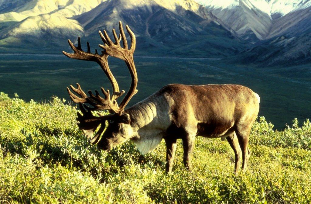 Christmas Reindeer (Caribou)