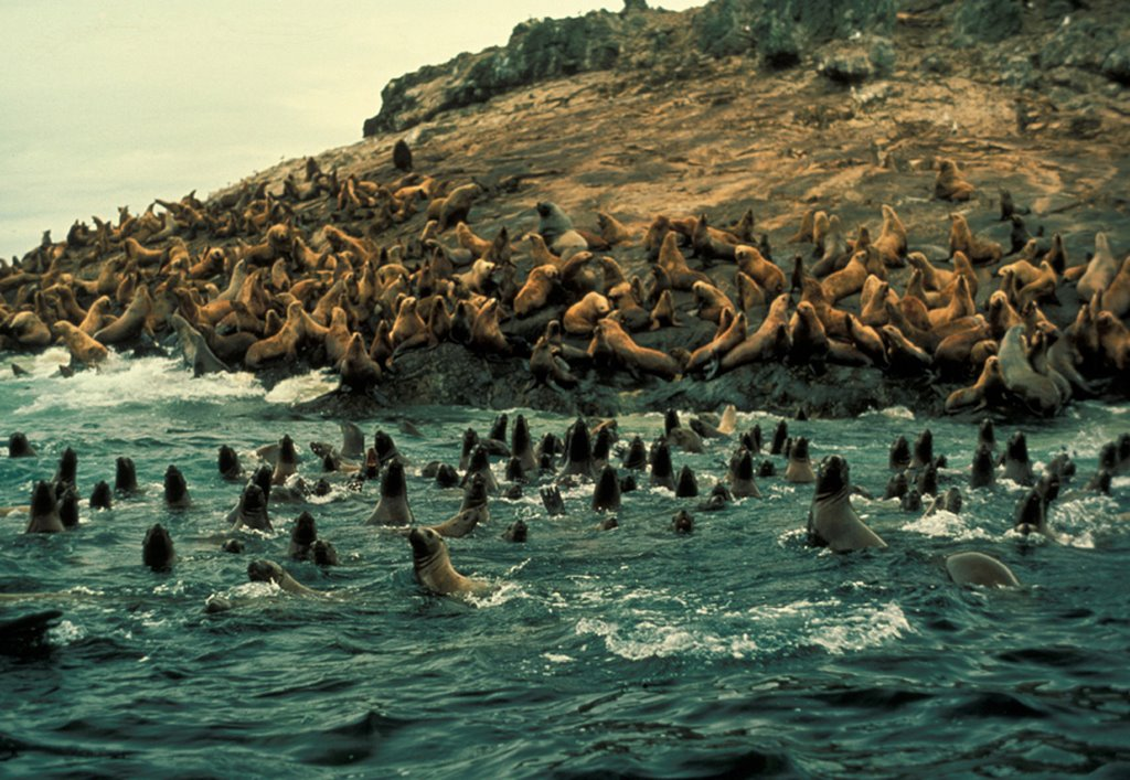 Sea Lion Group at Haulout, Alternative Title: (Eumetopias jubatus)