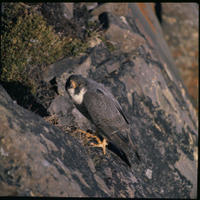 Arctic Peregrine Falcon (falco peregrinus tundrius), Title: Arctic Peregrine Falcon, Alternative Title: falco peregrinus tundrius, Creator: Maslowski, Steve, Source: WO-5230-51, Publisher: U.S. Fish and Wildlife Service, Contributor: DIVISION OF PUBLIC AFFAIRS.