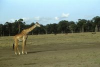 Title: Giraffe, Alternative Title: (Giraffa camelopardalis), Creator: STansell, Kenneth, Source: WO5095-023, Publisher: U.S. Fish and Wildlife Service, Contributor: DIVISION OF PUBLIC AFFAIRS.