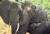 Title: African Elephant   Alternative Title: (none), Creator: Stolz, Gary M., Source: WO5680-007, Publisher: U.S. Fish and Wildlife Service, Contributor: DIVISION OF PUBLIC AFFAIRS