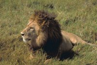African lion, Africa, Animals, Mammals, Tanzania, Wildlife,