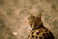 Title: Serval cat, Alternative Title: (Leptailurus serval), Creator: Stolz, Gary M. Source: WO5675-007, Publisher: U.S. Fish and Wildlife Service, Contributor: DIVISION OF PUBLIC AFFAIRS.