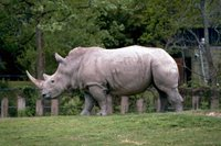 Title: White Rhinos, Alternative Title: (Ceratotherium simum), Creator: Stolz, Gary M. Source: WO8461-002, Publisher: U.S. Fish and Wildlife Service, Contributor: DIVISION OF PUBLIC AFFAIRS.
