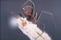 ORDER - ARANEIDA Spiders, Comb-footed spiders (Black Widows), White Sands National Monument, Checklist of Mammals, Reptiles, Amphibians and Insects, National Park Service, United States Department of the Interior