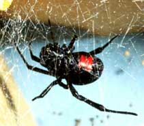 Black Widow Spider, This file has been released into the public domain by the copyright holder, its copyright has expired, or it is ineligible for copyright. This applies worldwide.