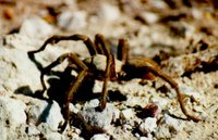 A tarantula spotted on an open piece of ground. National Park Service (NPS), U.S. Department of the Interior.