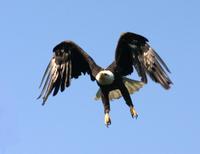 Bald Eagle (Haliaeetus leucocephalus), Creator: Coleman, Phil, Source: DI-Gulkana