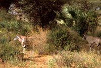 Beisa Oryx (Oryx beisa),  Africa, Animals, Kenya,, Mammals, Wildlife, deer.